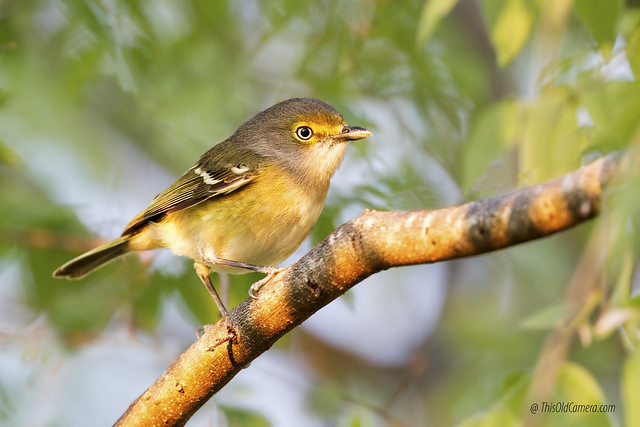 White-eyed vireo (Vireo griseus), Canon EOS 7D, Canon EF 400mm f/4 DO IS II USM