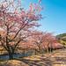 春光序曲 Spring Overture / Shizuoka, Japan by yameme