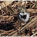 Cuereta blanca - Lavandera blanca - white wagtail - Motacilla alba