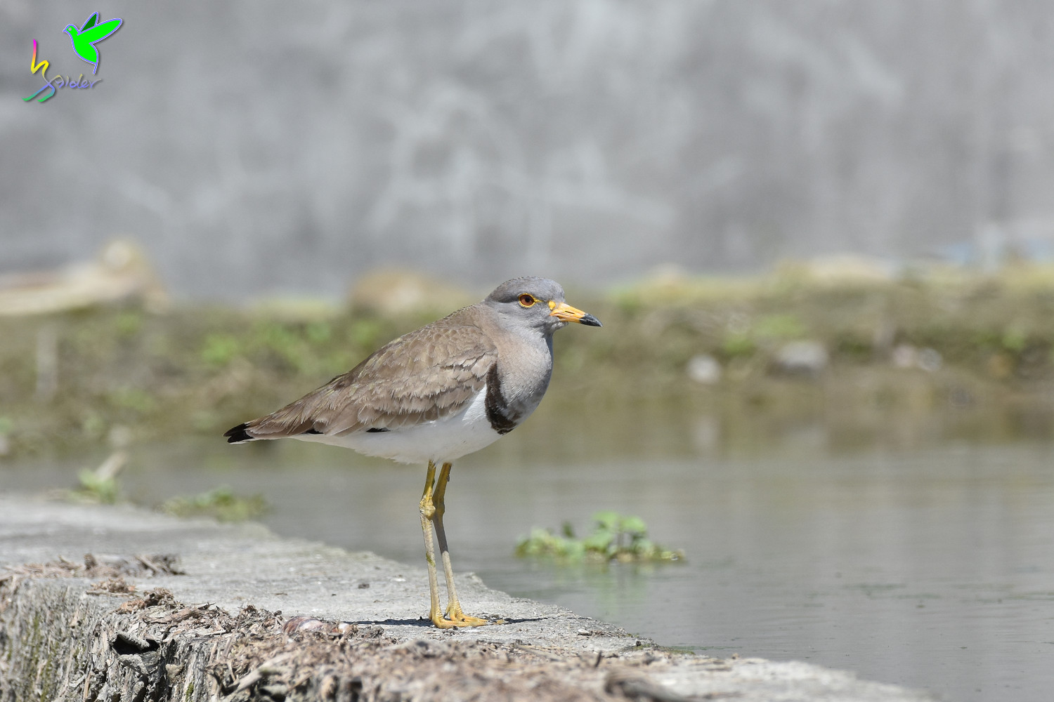 Grey-headed_Lapwing_1502