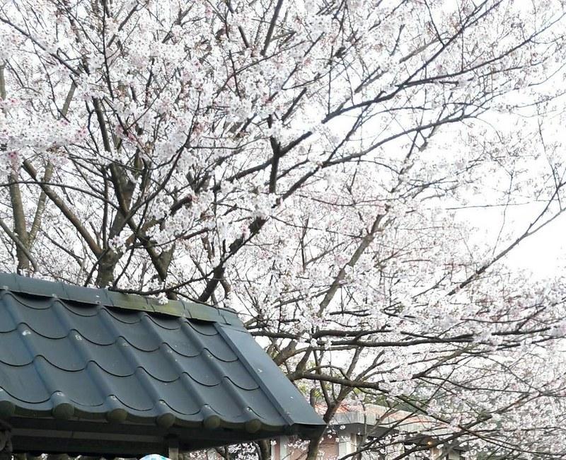 平菁街93巷橘咖啡賞櫻趣 (15)