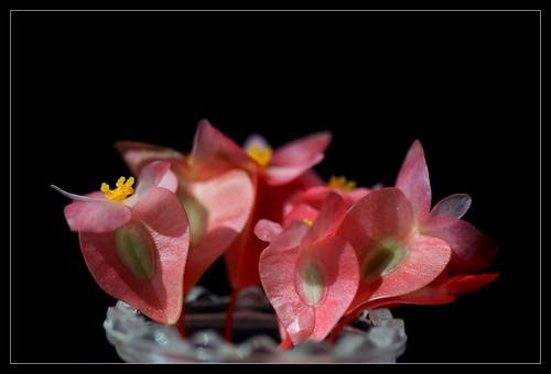 Begonia maculata et horticoles - bégonia bambou 38937583340_d7b654114b