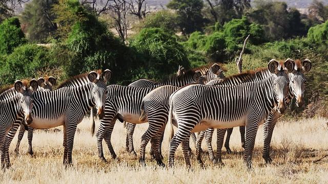A Herd of Grevy's Zebras (Equus grevyi)