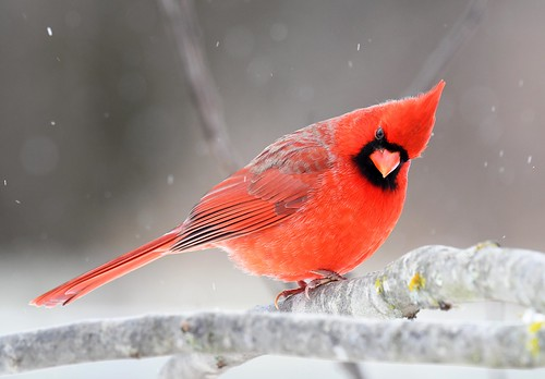 Male Cardinal checking out the cat.