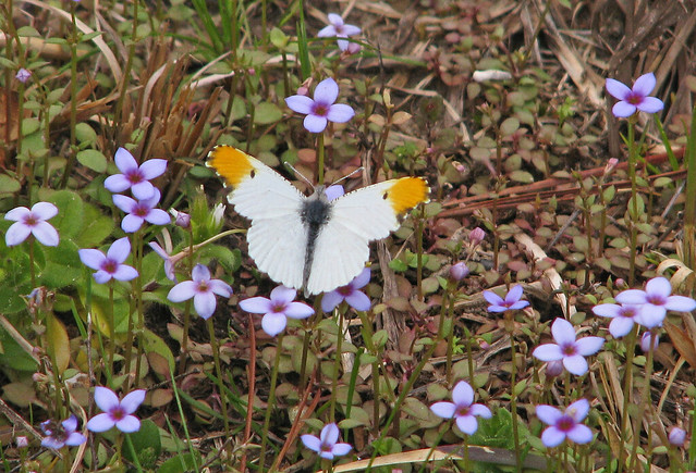 Falcate orangetip in tiny wildflowers - Friday