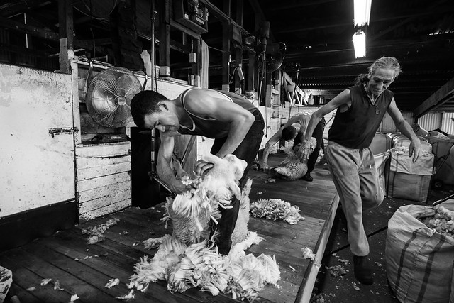 Tosa de Ovelha / Sheep Shearing