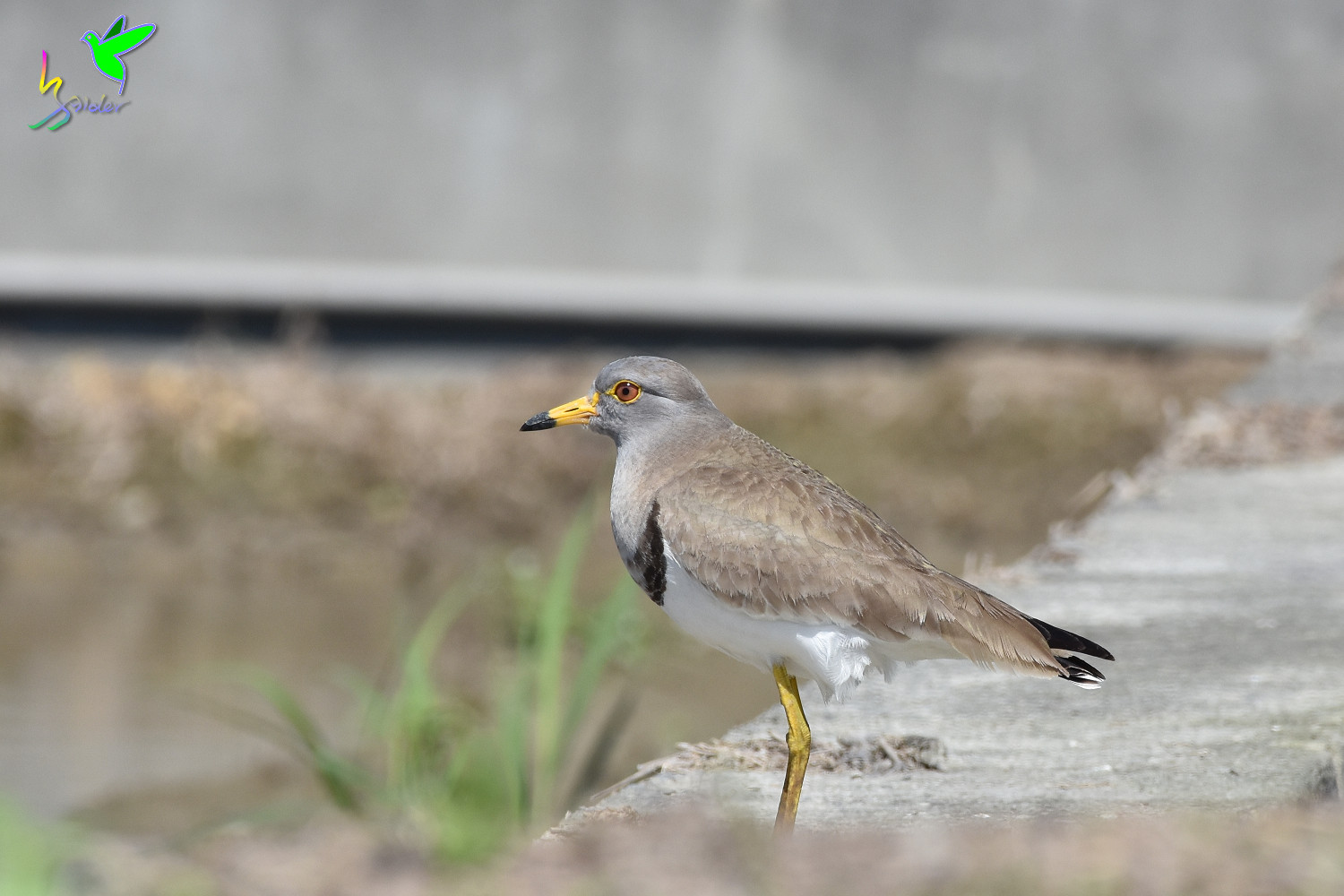 Grey-headed_Lapwing_1307