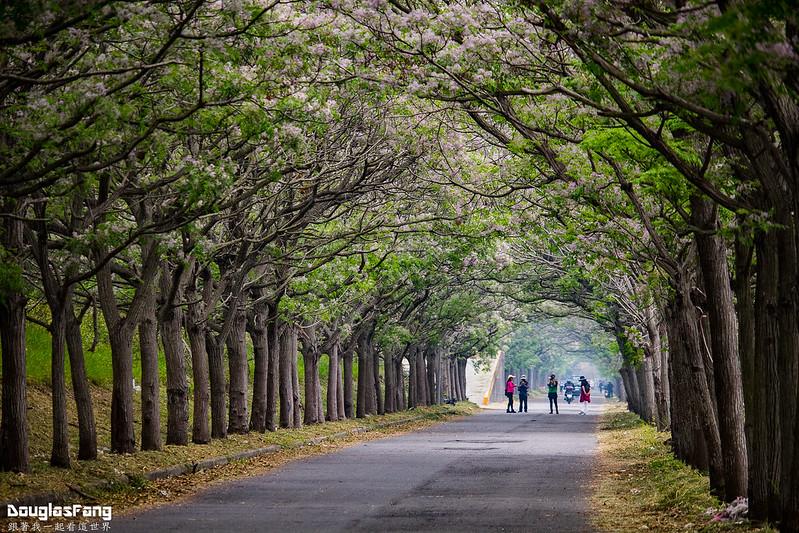 【遊記】嘉義六腳苦楝樹隧道 (5)
