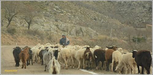 Entre pastores y ovejas