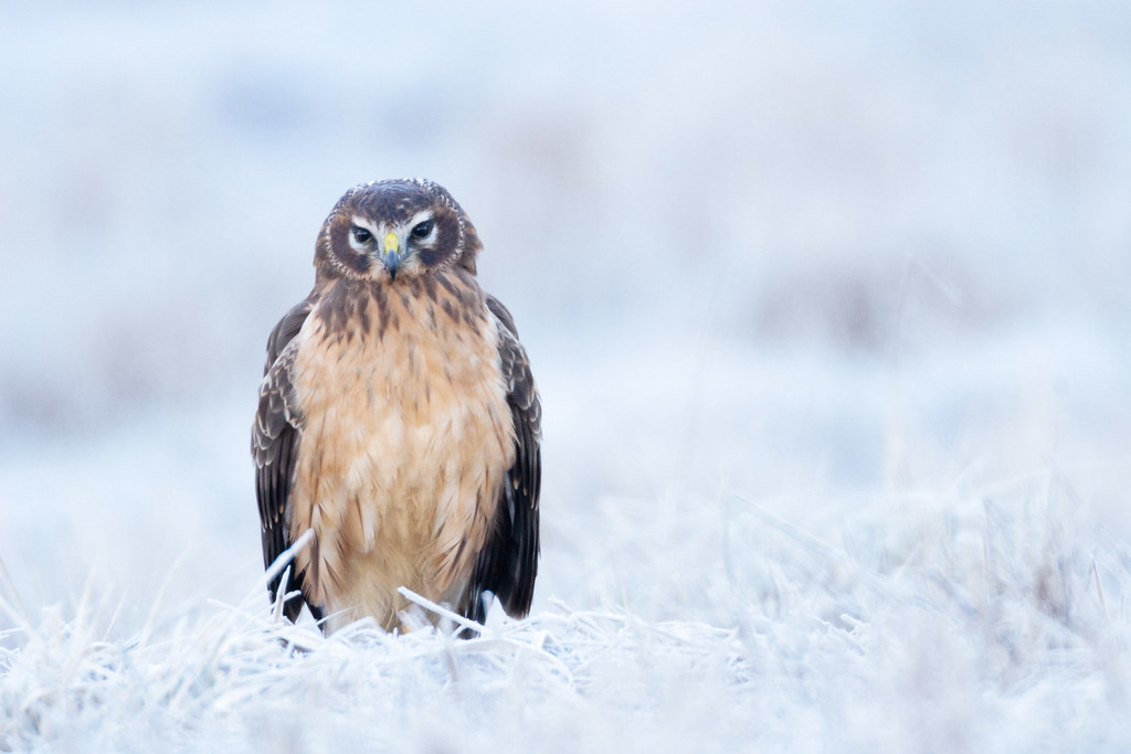A female juvenile northern harrier sits in a frosty meadow
