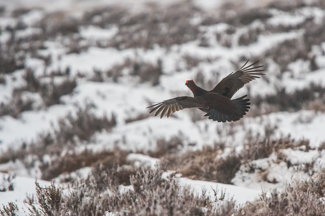 Flying Grouse