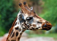 GaiaZOO giraffe