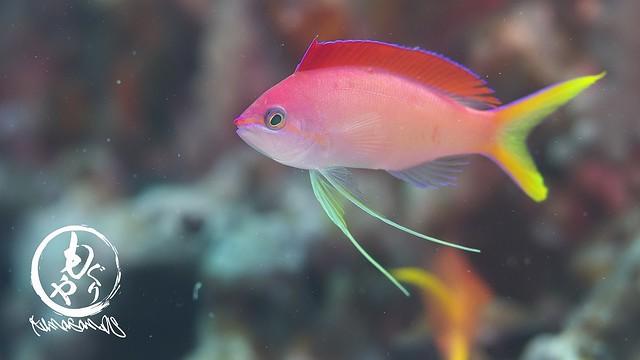 アカネハナゴイオス