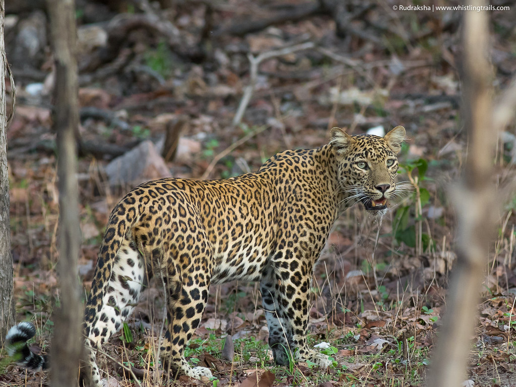 Indian Leopard