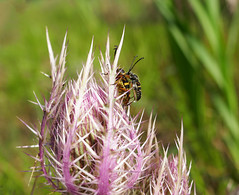Insects mating on a spiky Thistle bud - Explore! 作者 Monceau