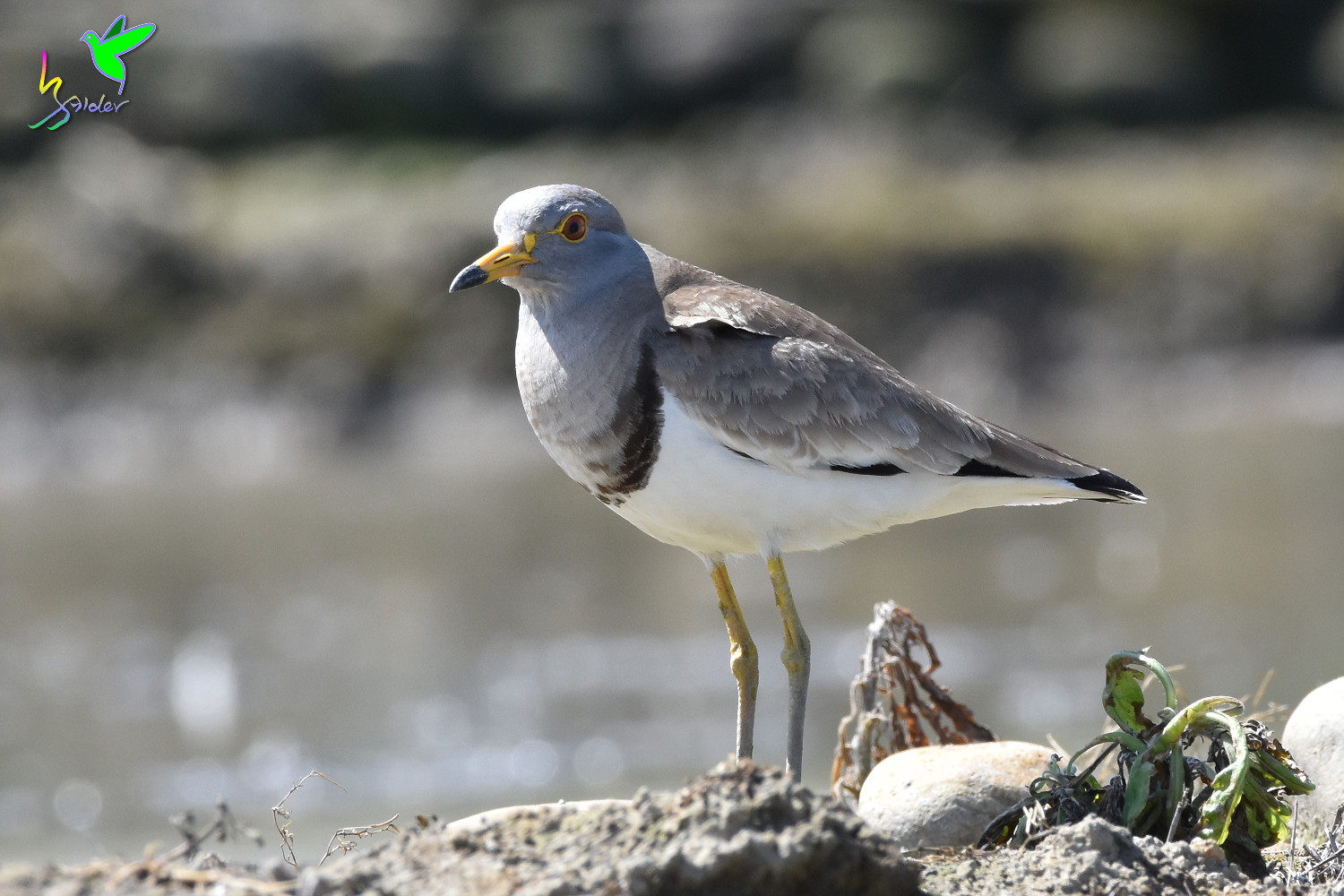 Grey-headed_Lapwing_1629