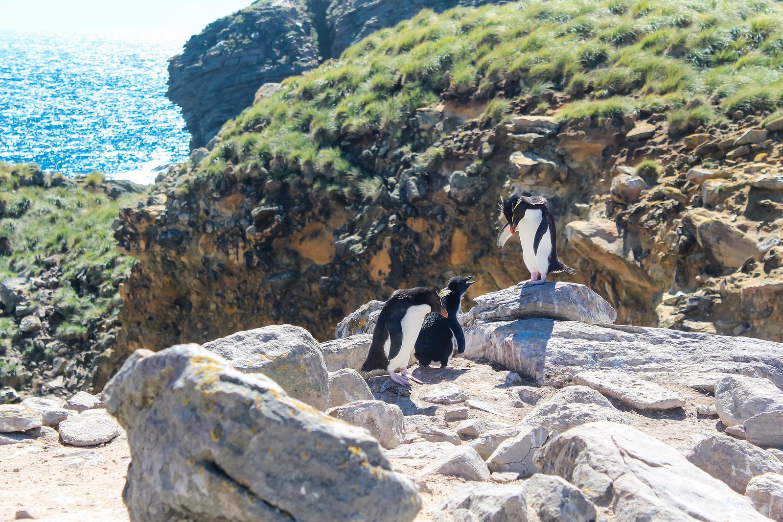 Falklandinsaaret pingviinit