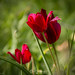 Tulipa Cypria I