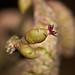 hazel, female flower