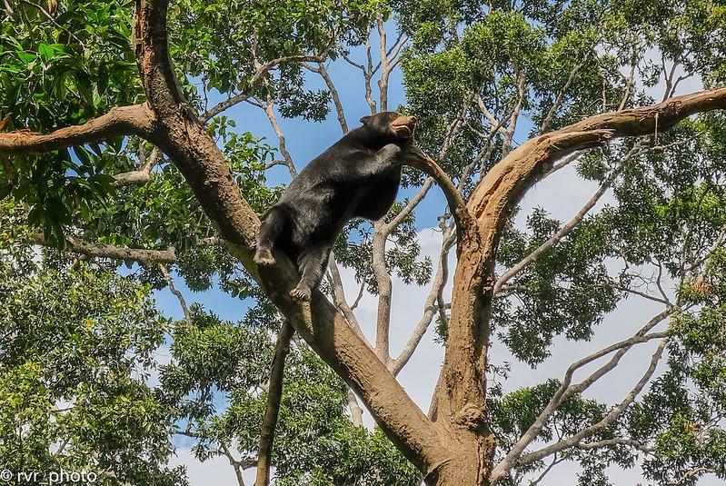 Bornean Sun Bear Centre, Sepilok, Borneo, Malasia