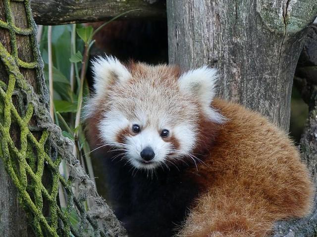 Roter Panda, Dierenrijk Mierlo