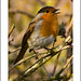 Robin ( Erithacus rubecula )