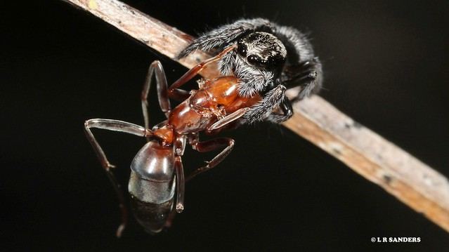 jumping spider with Leptomyrmex ant prey