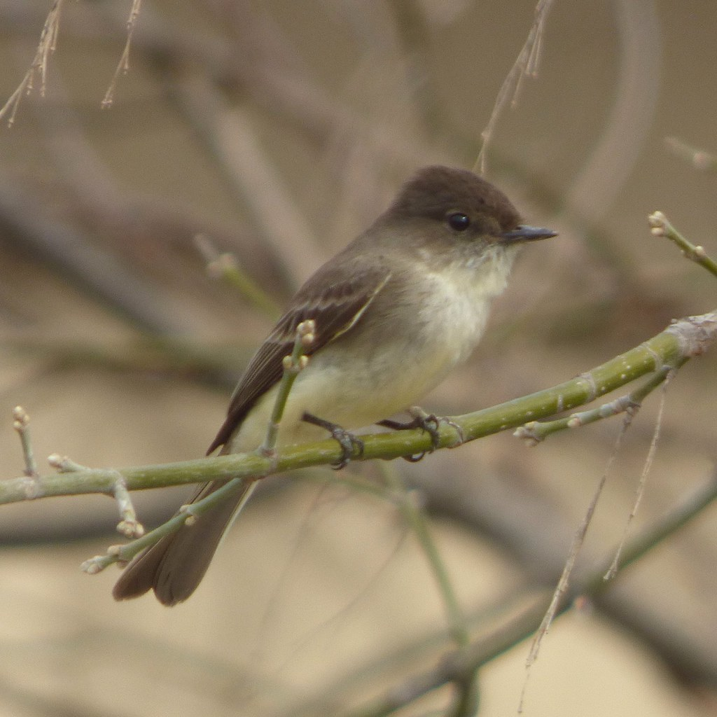 eastern phoebe, march 10, 2018, trail at the woods, allen