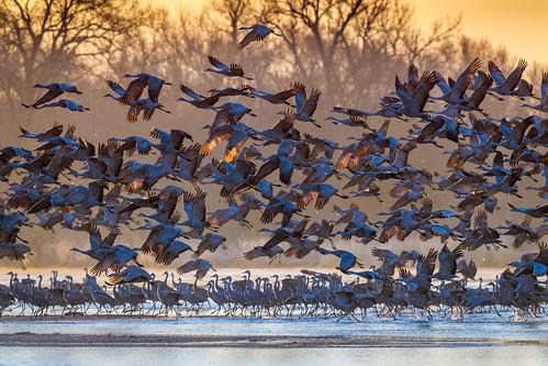 sandhillcranes takingflight birdsinflight river sunrise platteriver kearney nebraska