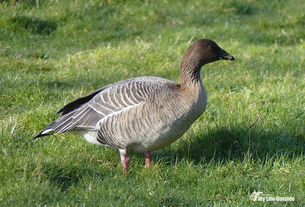 P1130747 - Pink-footed Goose, Holkham