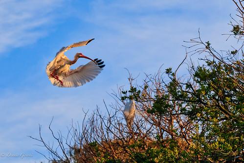White Ibis Inbound