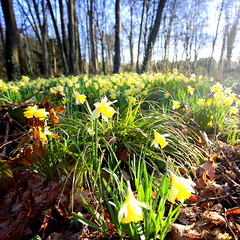 Jonquilles / Daffodils - Photo of Septeuil