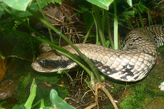 False Water Cobra (Hydrodynastes gigas) (Captive specimen)