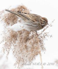 Bruant des roseaux - Emberiza schoeniclus - Common Reed Bunting : Michel NOËL © 2018-2659.jpg