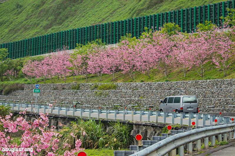 【遊記】嘉義阿里山巃頭明隧道昭和櫻 (9)