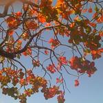 Terminalia cattapa senescent leaves