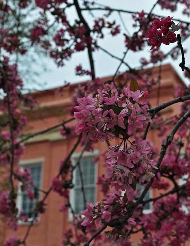 Crabapple on Court St. (2)