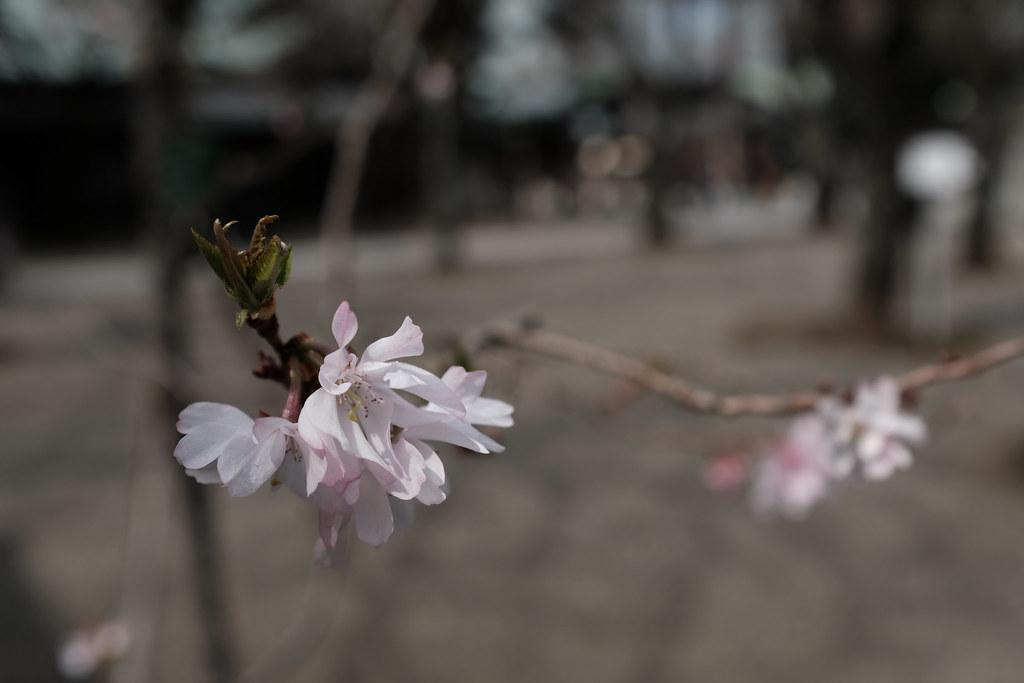 shiki sakura tree