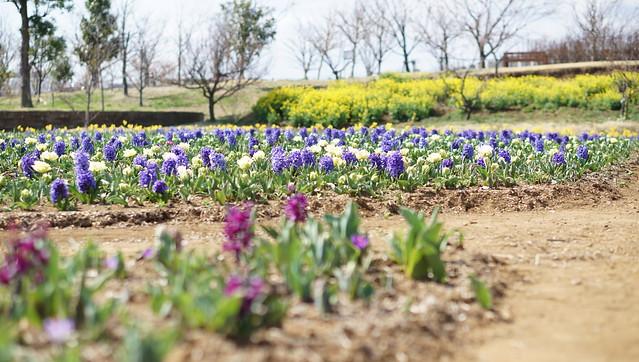 DSC07443花菜ガーデン