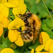 Common Carder bee (Bombus pascuorum), worker