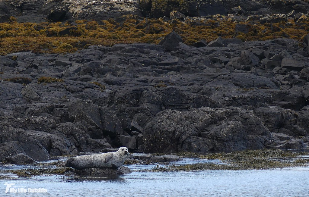 P1120754 - Common Seal, Isle of Mull