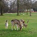 Stags on the golf course