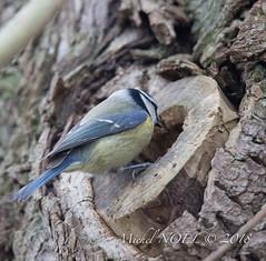 Mésange bleue - Cyanistes caeruleus - Eurasian Blue Tit : Michel NOËL © 2018-3256.jpg