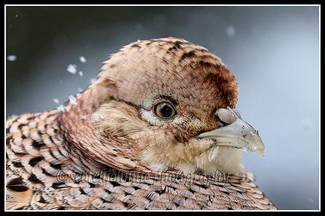 IMG_0136 Pheasant