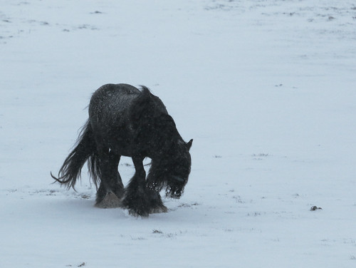 Shaggy pony in snow