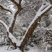 Snowy Apple Tree