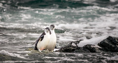 Chinstrap Penguins coming from morning swim