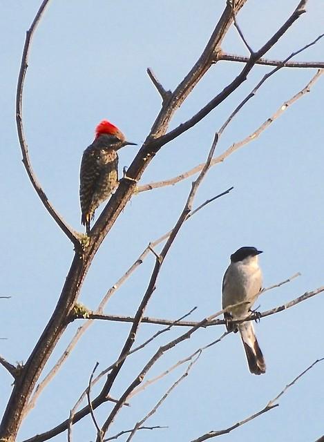 Cardinal Woodpecker and Fiscal Flycatcher Gondwana