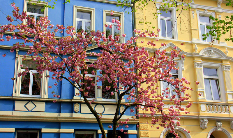 Spring makes bonn cherry blossom trees burst out in flowers
