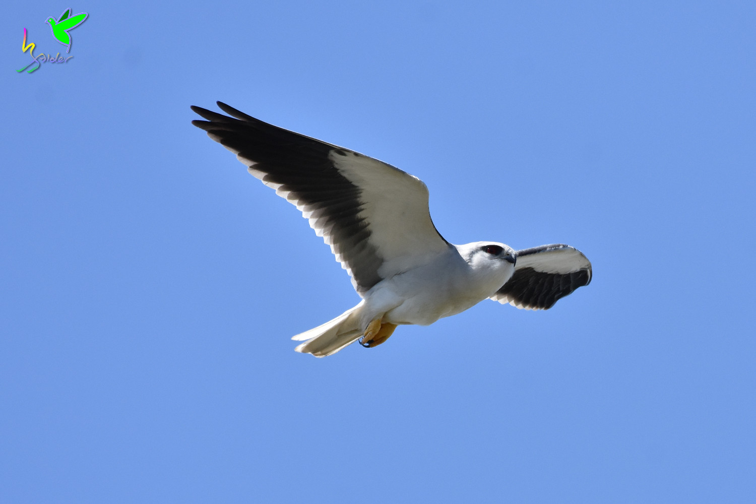 Black-winged_Kite_2306